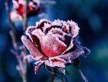Очень красивый зимний цветок