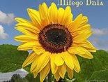 Słoneczny kwiat i słoneczne pozdrowienia dla  Ciebie