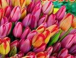 Tulipanki dla Ciebie, żeby Ci było wiosennie, kolorowo i miło!