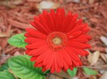 Gerbera_Daisy_Flower_Digon3.JPG