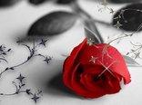 rose-flower-wallpaper-free_2560x1600_83157.jpg