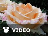 Roses. Musica - Andre Rieu