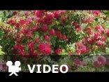 Róże - muzyka Andre Rieu