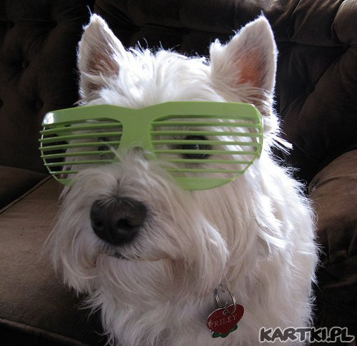 Psiak w okularach