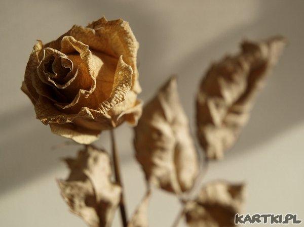 umarła róża
