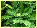 Kwiat Paproci