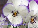 Mowa kwiatow: Bratek - jesteś królowa moich myśli