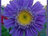 Mowa kwiatów: Chaber bławatek - wierność, dobroć ...