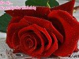 Na miłości kwiat patrzę z zachwytem, Piękno róży podziwiam,płatków urodę, Czerwienią płonie, w niej uczucia ukryte