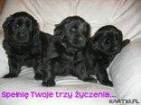 Pieski małe trzy