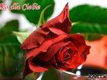 Ta piękna czerwona róża nadaje życiu harmonie.