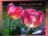 Tulipany na Dzień Kobiet