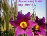 ukłon wiosennej sasanki...Dzień dobry:)