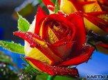 W płatkach róży zapisuję miłość swoją…i tkam z nich dywan byś nigdy nie poraniła stóp swoich w wędrówce naszej codzienności…