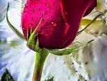 Walentynkowa róża dla Ciebie