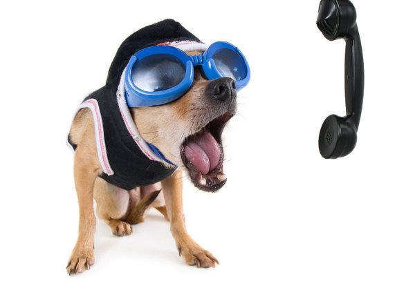 bigstock_A_Cute_Chihuahua_On_The_Phone_10327622.jpg