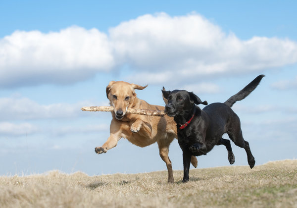 Dogs-with-stick-iStock_000012218850Large.jpg