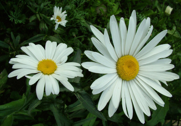 perfect-daisy-flowers.jpg
