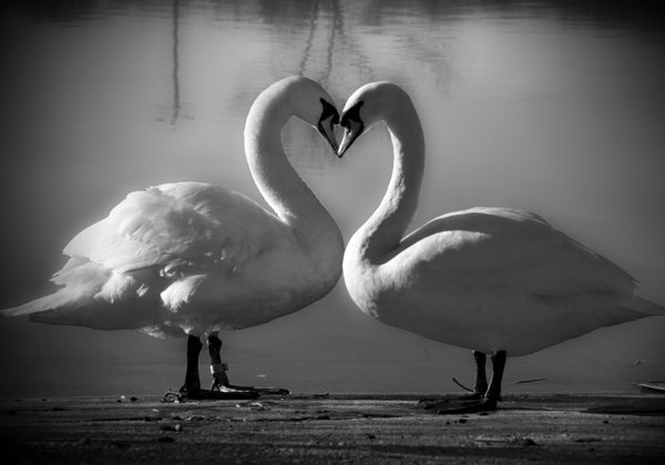 swans-in-love-copy_0.jpg