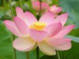 54953_rozowy_kwiat_lotosu.jpg