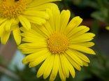68654_zolty_wiosenny_kwiat_gerber.jpg