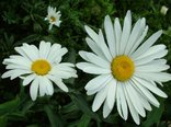 perfect-daisy-flowers.jpg