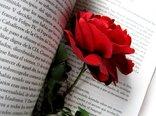 redrose-hoa-hong-rose-my-opera-com.jpg