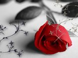 rose-flower-wallpaper-free_2560x1600_83157.jpg