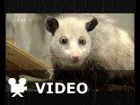 Heidi the opossum