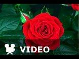 Niech Nasza Miłość rozkwita jak ta róża ...