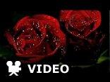 Zaczarowana róża..:))